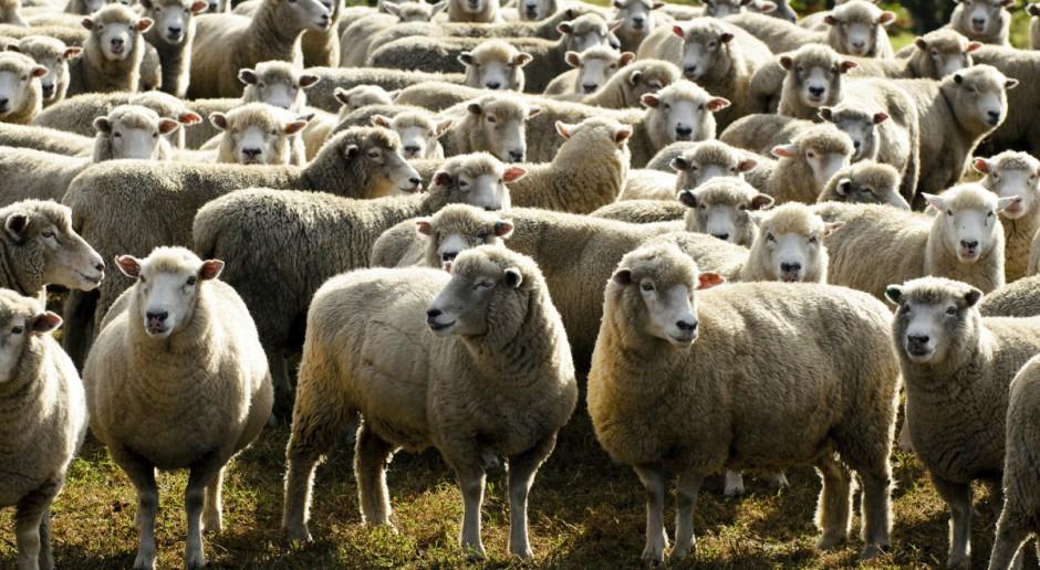 Polska: Wzrost pogłowia owiec, mniej maciorek