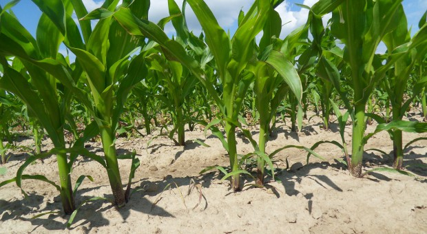 Czy kukurydza nadrobi zaległości?