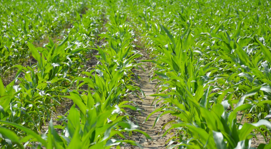 Zdążyć z dokarmianiem kukurydzy