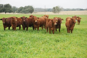 Zarządzanie odchowem jałówek hodowlanych bydła mięsnego
