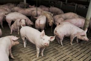 Podejrzenie ASF w fermie liczącej ponad 1000 sztuk świń