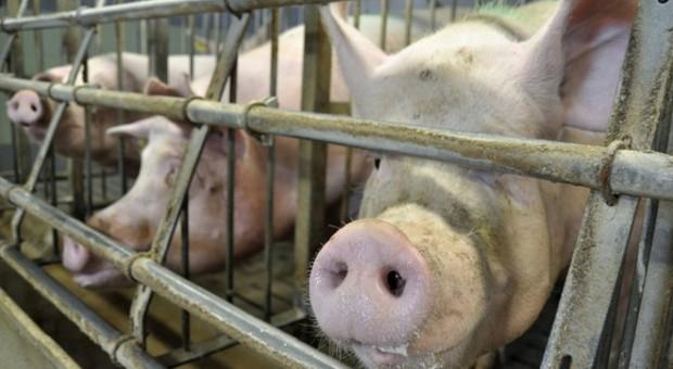 Rośnie producja świń i uboje, ale nie w UE