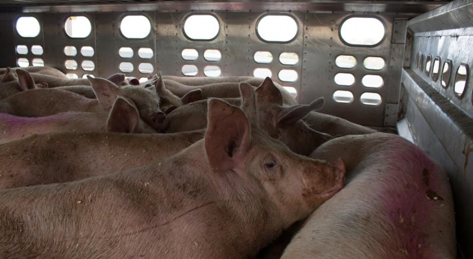Akt oskarżenia ws. znęcania się nad zwierzętami w ubojni