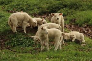 ARR przyjmuje wnioski o refundację kosztów zakupu jagniąt lub owiec