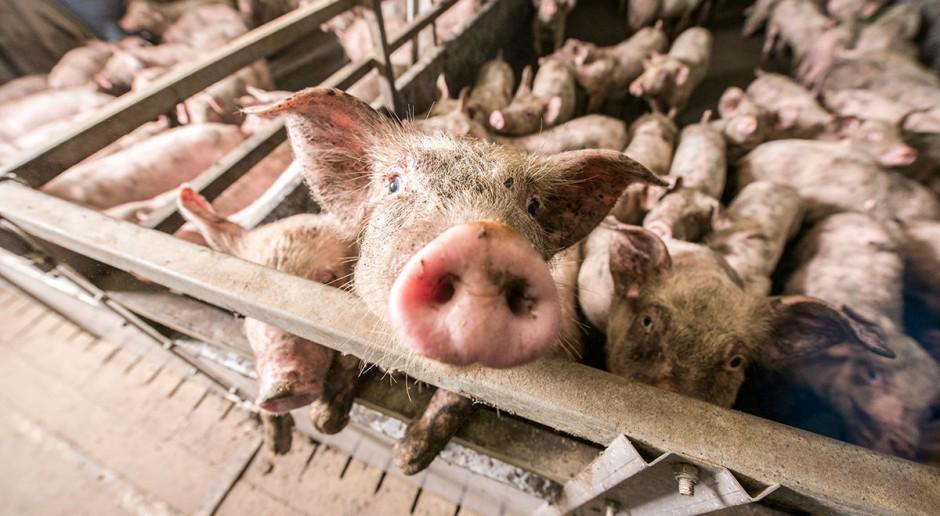 Przydomowy chów trzody chlewnej – kozioł ofiarny, a może czarna owca branży mięsnej?