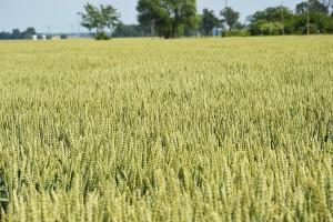 Reprodukcja zbóż dla najlepszych