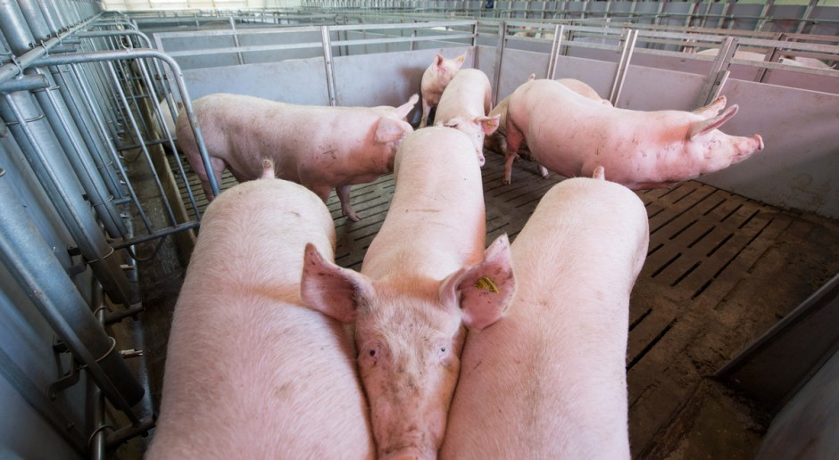 Niemcy: kolejne duże spadki cen świń