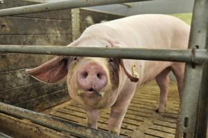 Sejm za ułatwieniami w rejestracji zwierząt gospodarskich