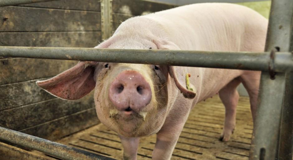 Estonia: Kolejny przypadek ASF-u w dużej fermie