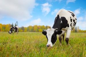 Ukraina: Spadek pogłowia niektórych gatunków zwierząt gospodarskich