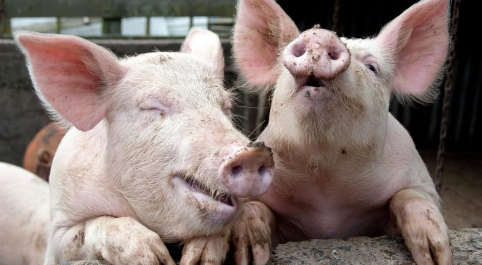 Zakaz hodowli świń będzie możliwy