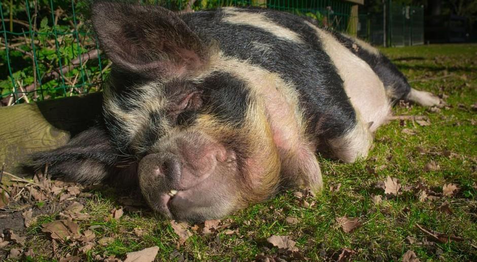Sejmowa Komisja Rolnictwa debatuje nad możliwością wprowadzenia zakazu hodowli świń
