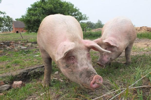 UE: Ceny świń rzeźnych - nacisk na spadek