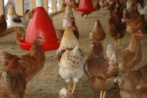 Od 20 lipca Polska oficjalnie wolna od ptasiej grypy