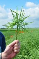 Deformacje łodyg, kwiatów oraz łuszczyn obniżają potencjał plonotwórczy porażonej rośliny, fot. A. Kobus