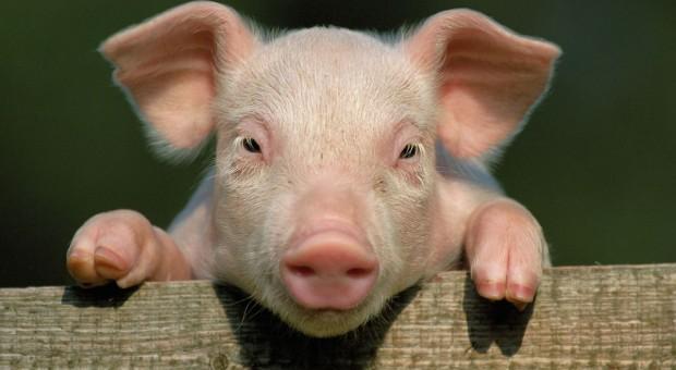 Żegnaj hodowlo świń?