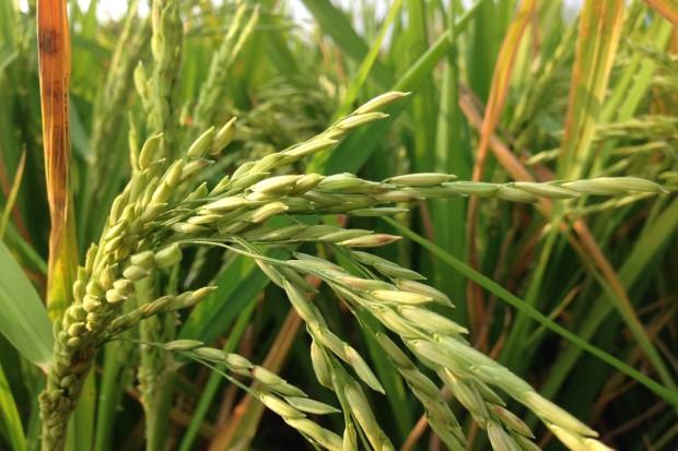 USA będą eksportować ryż do… Chin