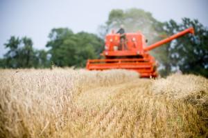 MRiRW: Tegoroczne zbiory zbóż mogą wynieść ponad 30 mln ton