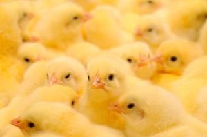 ARR: Rośnie produkcja kurczaków - będą tańsze