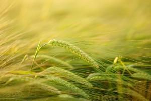 Sytuacja na rynku zbóż według MRiRW