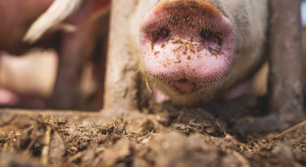 Lubelskie: prawie 2 tys. świń w kolejnym ognisku ASF
