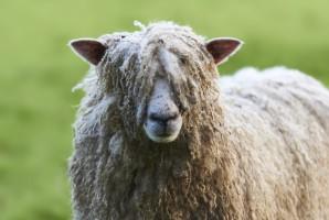 Rekord Guinessa w strzyżeniu owiec