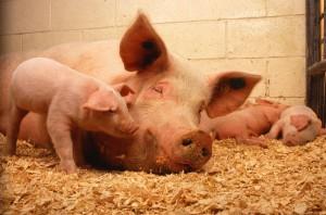 Rumunia: Pierwsze ognisko afrykańskiego pomoru świń