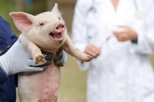 Ile kosztuje utylizacja świń na obszarach ASF?
