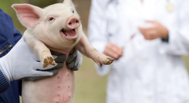40 milionów świń w bazie danych