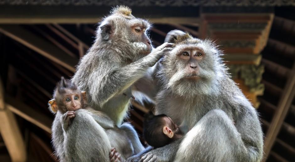Indonezja: Walka z plagą makaków, które niszczą uprawy i atakują rolników