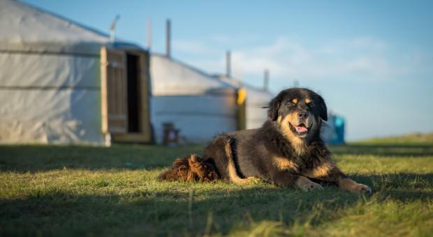 Mongolia: Przywrócona do łask rasa psa pasterskiego