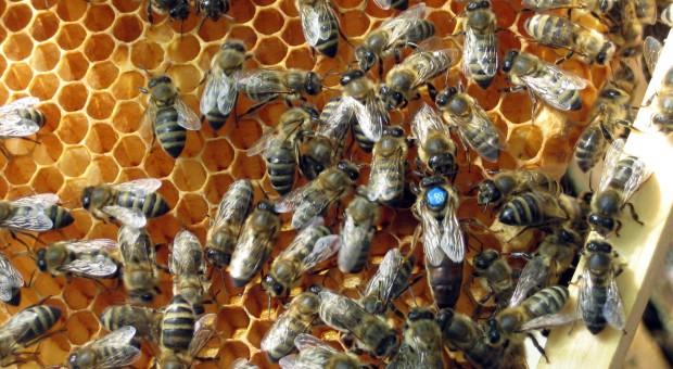 Dziś obchodzimy Dzień Pszczoły