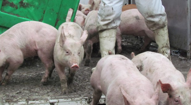 Rosja wstrzymuje import żywych świń i wieprzowiny z Rumunii
