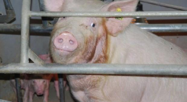Niemcy: Mniejsza produkcja mięsa
