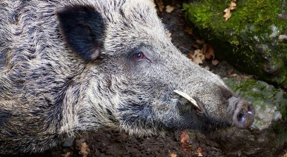Polowanie na dziki przez cały rok, zmiany w planach łowieckich i warunkach polowań