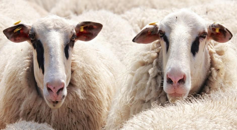 UE: Mniejsza podaż owiec i jagniąt