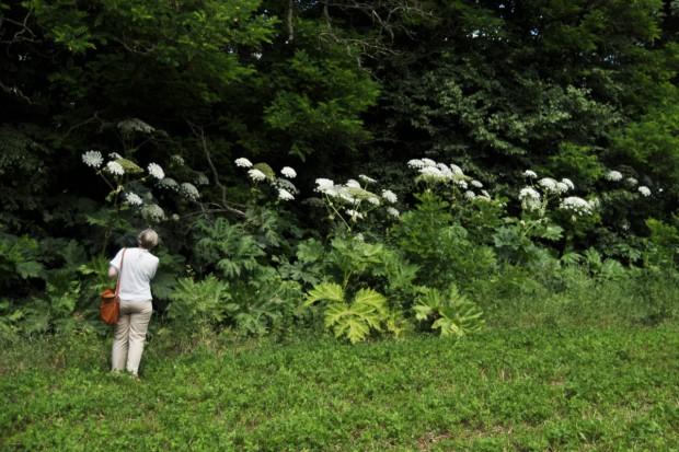 Gmina walczy z Barszczem Sosnowskiego w Dolinie Rospudy