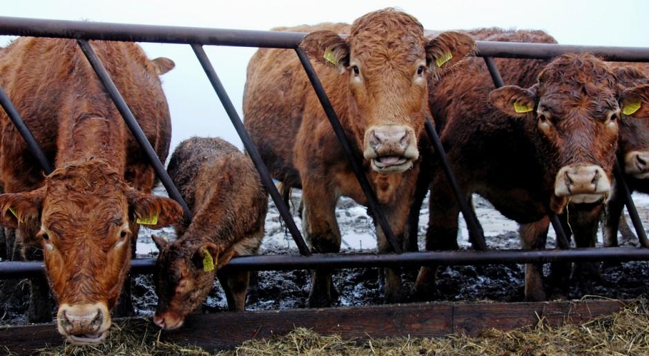 Rośnie polski eksport mięsa wołowego