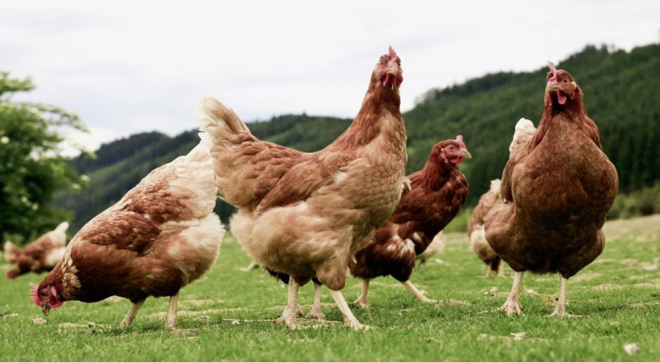 Skandal z fipronilem - ekologiczni hodowcy czują się oszukani