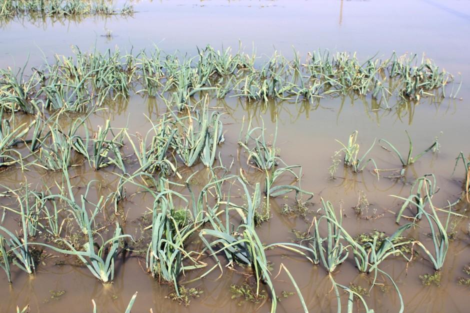 Po nawałnicy w uprawach notuje się także liczne potopienia; Fot. Anna Kobus