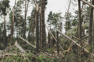 RDLP w Gdańsku: Wg wstępnych szacunków wiatr powalił ponad 6 tys. ha lasu