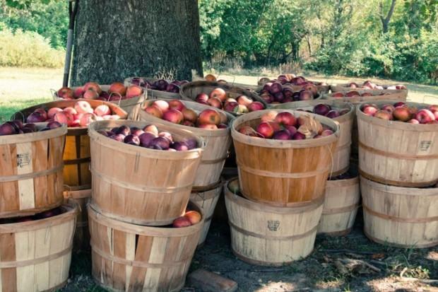 UE: Znacznie mniejsze zbiory jabłek