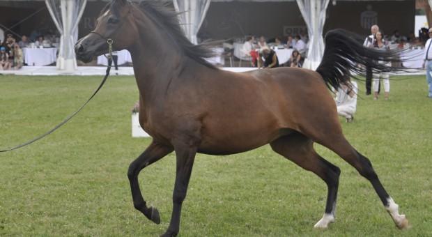 501 tys. euro za konie na aukcji Pride of Poland w Janowie Podlaskim