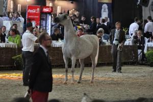 MRiRW: Aukcja i pokaz koni arabskich odbędą się w 2019 r w Janowie Podlaskim
