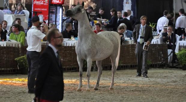 Ardanowski: sprzedaż koni na Pride of Poland nie wpłynie na jakość hodowli arabów w Polsce
