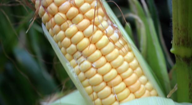 Kolby kukurydzy porażone grzybami z rodzaju Fusarium spp.