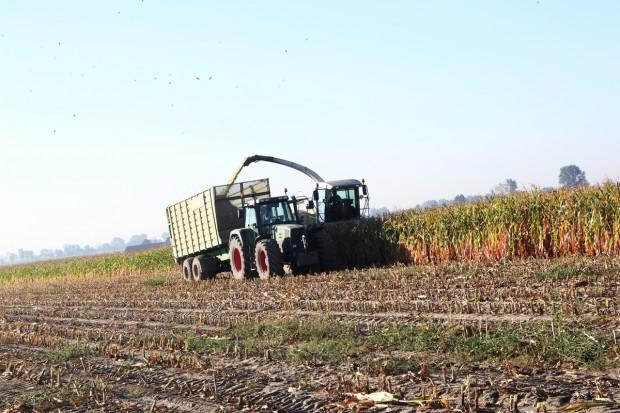 Kukurydza na kiszonkę ma około 20-25 proc. suchej masy