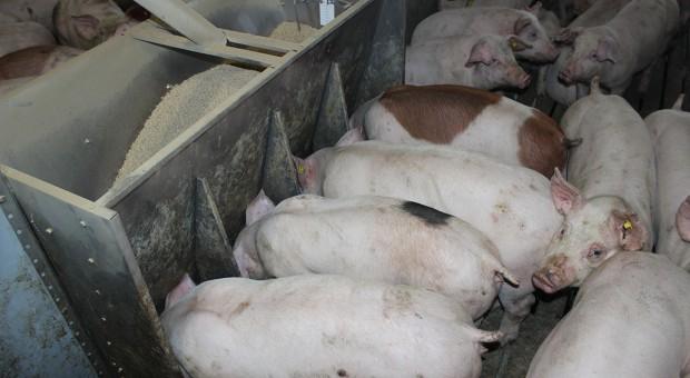 Możliwości poprawy współczynnika wykorzystania paszy w tuczu świń