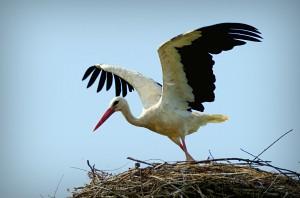 Lubuskie: Większość bocianów białych wyruszyła w podróż do Afryki