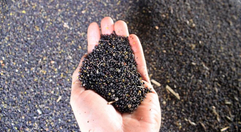 Kiepska jakość tegorocznych nasion rzepaku
